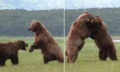 Grizzly bears fight for survival after one steals food from the other