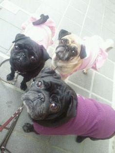 a trio of pugs