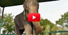 The Gratitude That This Elephant Shows To His Rescuers Is Amazing!   The Animal Rescue Site Blog Shelter Dogs, Animal Shelter, Rescue Dogs, Pet Dogs, Chihuahua Dogs, Puppies, Elephant Gif, Happy Elephant, Elephant Videos