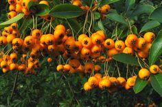 Buisson ardent 'Soleil d'Or'    Le Pyracantha coccinea 'Soleil d'Or' (Buisson ardent 'Soleil d'Or') est une plante qui peut aussi bien servir de plante de haie que de plante grimpante.