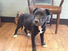 Puppies is an adoptable Labrador Retriever Dog in Warren, IN. 14 week old puppies looking for there forever homes! Their mother was a Lab/Golden and Father was a Boxer. There are2 males and 1 female....