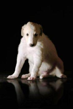 Borzoi's puppy. #borzoi #dogs #Russian