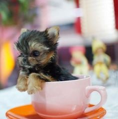 Little Yorkie in a teacup