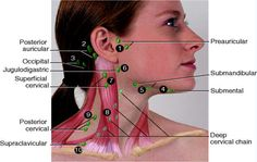 lymph nodes locations in neck - Google Search