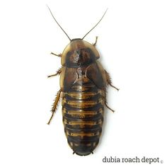 Keep Dubia roach feeders between 60ºF and 85ºF. The stress of higher and lower temperatures effect Dubia roaches. http://wu.to/u2zufE