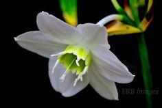 White Lily Fine Art Photograph  Garden Floral by ThoreauFair