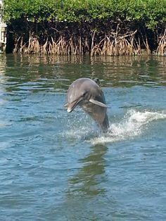 Dolphin Research Center in Grassy Key, Florida. This is Gypsi and I got to swim with her.