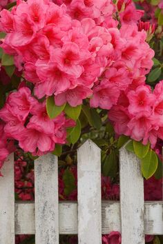 Rhododendron at picket fence.  ❀ #flowers* I would grow Rhoddies, but I do like to breathe in the spring.