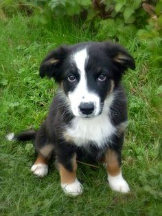 australian shepherd puppy