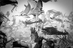 Grullas crononadas en plena migración en el lago Hula, Israel (Ido Meirovich, 2012)