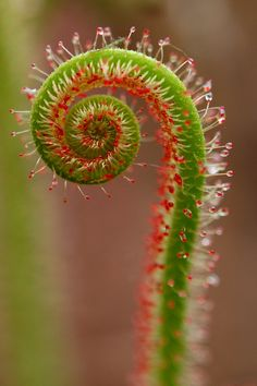 Flickr (Drosera) Sundew