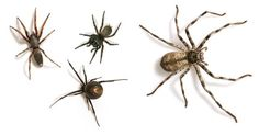 From top left  ..a white-tailed spider, a Sydney funnel-web, a banded huntsman and a redback. Welcome to Australia.
