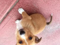 Chihuahua x Jack Russell x Pomeranian Puppy Melbourne, Australia