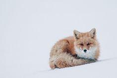 Dans l'intimité des renards de la Toundra Russe, un photographe capture des…