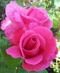 ~Hybrid Tea Rose 'Best Friend' #pink