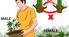 How to Identify Female and Male Marijuana Plants. If you are growing marijuana for medicinal purposes, you need to know how to identify female and male marijuana plants. Almost all growers prefer female marijuana plants because only. Growing Weed, Growing Greens, Cannabis Cultivation, Cannabis Plant, Hydroponics System, Ganja, Gardening, Medical Marijuana, Plants