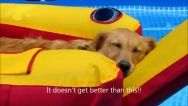 Goldens living the life (video)