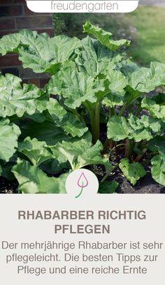 Alles über Rhabarber im Garten: Erntezeit, pflanzen, pflegen und Ideen für Rezepte. #Gemüsegarten #freudengarten
