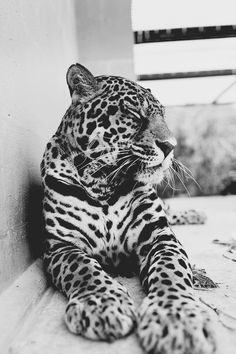 Big cats look so sweet! Beautiful Cats, Animals Beautiful, Simply Beautiful, Absolutely Gorgeous, Baby Animals, Cute Animals, Gato Grande, Ocelot, Tier Fotos