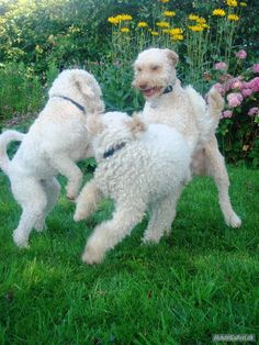 Lagotto Lagotto Romagnolo Puppies Breed