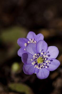 Hepatica Flowers. I would love these for my kitchen table! They would brighten the room!