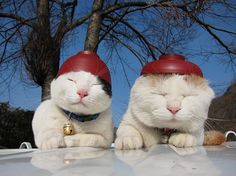 Shironeko & friend wearing a miso-soup bowl (left) and miso-soup bowl cover (right) as hats