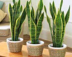 Multiplica la planta de interior más resistente y disfruta de su belleza impactante. #servera