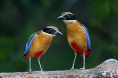 Pair of Blue-winged Pitta (Pitta moluccensis) in Malaysia, Southeast Asia and Australia