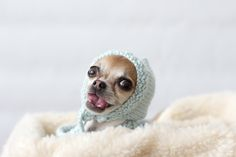 Snau lanza las 'Entrevistas Perrunas', donde los peludos nos cuentan sus aficiones, intimidades... Todo en clave de humor. Hoy tenemos a Pippa the Chihuahua