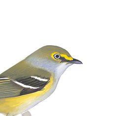 White-eyed Vireo. Painted and © by David Sibley