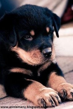 651 Best Rottweilers Images In 2019 Pets Cute Dogs Cute Puppies