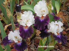 'Cosmic Celebration' Tall Bearded Iris