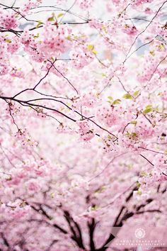 Cherry blossom // sakura Love Blooms and Japanese references. Flowers Nature, Love Flowers, Spring Flowers, Beautiful Flowers, Sakura Cherry Blossom, Cherry Blossoms, Cherry Flower, Reisen In Europa, Big Hips