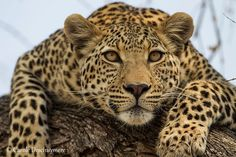 ~~ Cheetah by Carole Deschuymere ~~