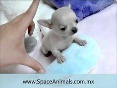 Venta de cachorros perros de raza Chihuahua cabeza de manzana original