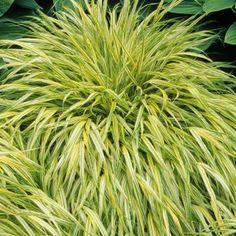 Golden Japanese Forest Grass Hakonechloa macra 'Aureola' Zone: 4-9 shop.monrovia.com