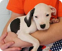 Prattville, AL - American Bulldog Mix. Meet Finn 19926 a #Puppy for Adoption. - she's #urgent & she has a paw-fect little heart-shape marking on her nose <3 ... she has to be someone's cherished valentine