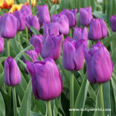Purple is my absolute favorite color of tulip, but I love them ALL!