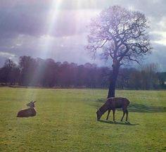 Deer grazing in Wollaton Park, Nottinghamshire