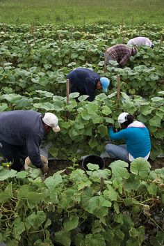 Farm workers picking cucumbers
