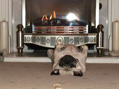 Never underestimate a pugs ability to absorb heat