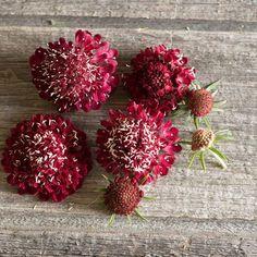 Fire King Scabiosa Seeds (Scabiosa atropurpurea) + FREE Bonus 6 Variety Seed Pack - a $30 Value!