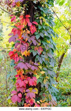 Image result for virginia creeper fall foliage Virginia Creeper, Creepers, Pets, Fall, Flowers, Nature, Image, Nuthatches, Autumn