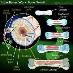 Human bone growth... Interesting that there is a nutrient plate- really puts into perspective that what we put into our bodies can affect bone growth.