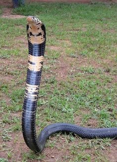Forest Cobra (Naja melanoleuca) at the Uganda Reptiles Village, deep in the farmland outside Entebbe, Uganda Scary Snakes, Cool Snakes, Beautiful Snakes, Animals Beautiful, Snake Wallpaper, Cobra Snake, Snake Venom, Snake Art, Python Snake