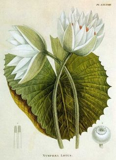 Nymphea Lotus old print