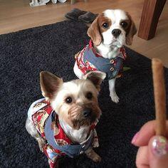 はやくくだしゃい‼️ #キャバリア #キャバリア部 #ブレンハイム #男の子 #犬 #dogstagram #dog #dogs #cavalier #わんこ #ワンコ #instadog #キャバリアキングチャールズスパニエル #うちの子 #cavalierkingcharlessspaniel #cavalierstagram #サマーカット #愛犬 #ヨーキー #ヨーキーmix #yorkshireterrier #yorkie #多頭飼い #ヨーキーlove #ヨークシャテリア #アロハシャツ