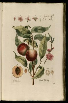 Knorr, G.W., Thesaurus rei herbariae hortensisque universalis, vol. 1: t. 116 (1750-1772)