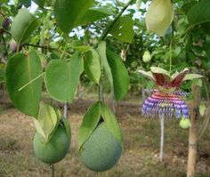 http://jungletuin.com/2014/08/passiflora-maliformis/