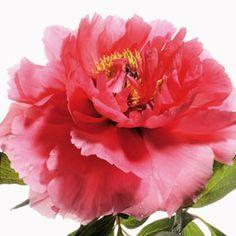 Peonia Trono di Corallo (Shan Hu Tai) che di persona :-) è molto più bella di così. Suffruticosa.